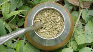 trà yerba mate là gì